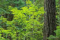 Forest in summer, Mt. Rainier NP, WA
