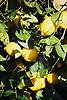 Lemon tree with ripe lemons<br /> <br /> Limonero con limones maduros<br /> <br /> Zitronenbaum mit reifen Zitronen<br /> <br /> 1840 x 1232 px<br /> 150 dpi: 31,16 x 20,86 cm<br /> 300 dpi: 15,58 x 10,43 cm<br /> Original: 35mm