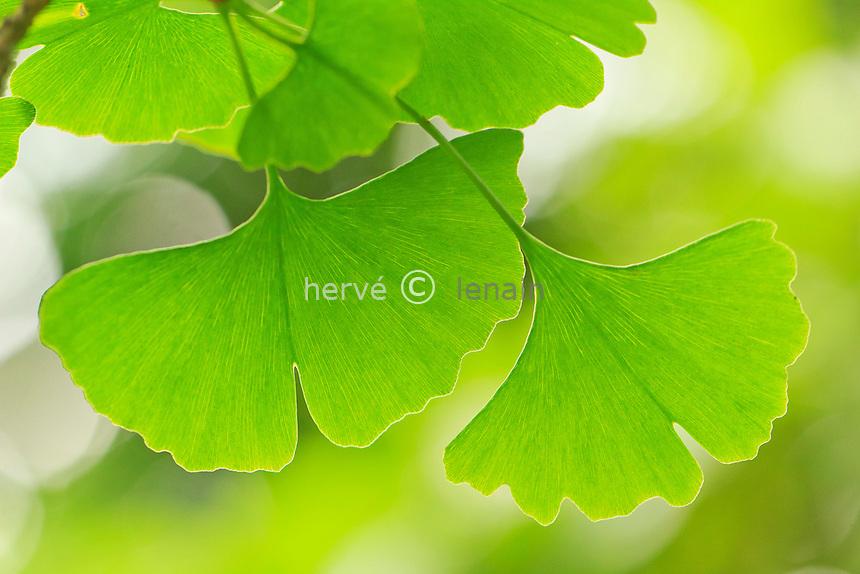 Ginkgo biloba, feuilles // Ginkgo biloba leaves