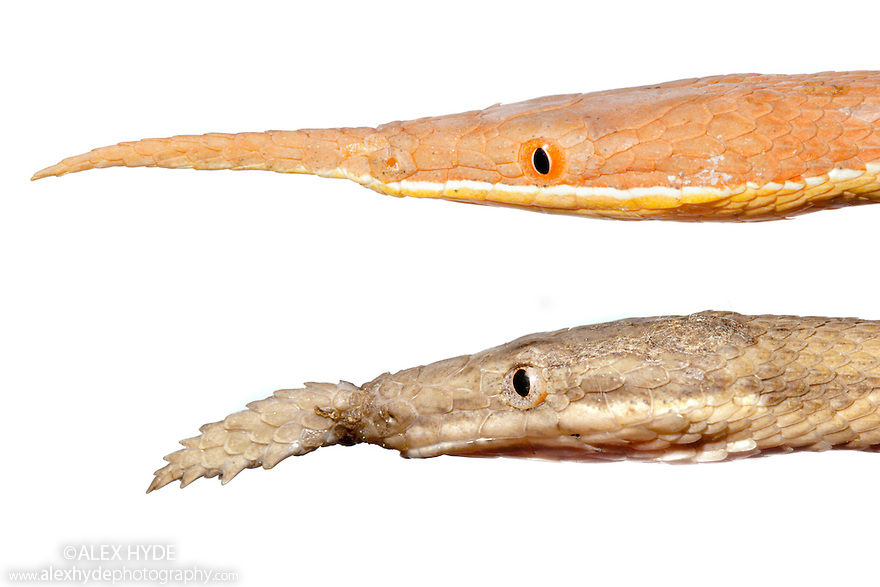 Comparison of male (top) and female (bottom) Spear-nosed Snake {Langaha madagascariensis} from the rainforest regions of eastern Madagascar. From two separate images photographed on white background.