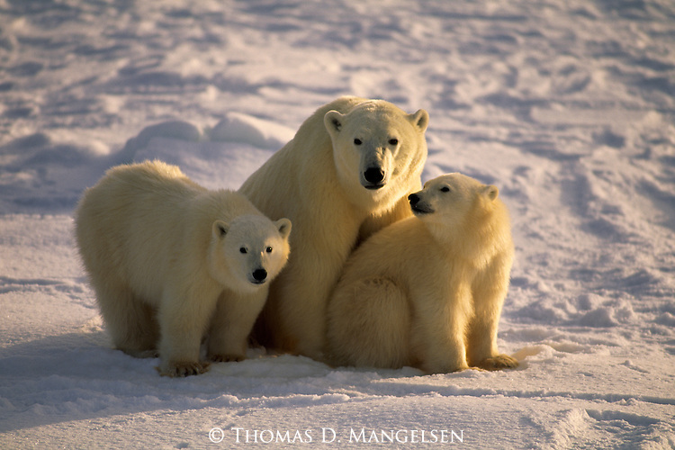 A mother polar bear and her two cubs sit and rest in the snow.