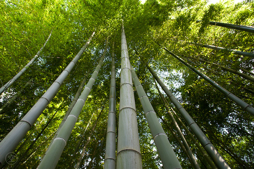 Looking up into the green of a Japanese bamboo grove.