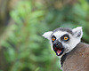 Easter surprise for lemurs<br /> at London Zoo<br /> at London Zoo, Regent's Park, London, Great Britain <br /> 2nd April 2015 <br /> <br /> Bachelor group of lemurs celebrate Easter in new home with enrichment egg hunt - in their new walk-through exhibit with hollowed-out papier mache hanging from branches around their enclosure packed full of tasty veg. <br /> <br /> <br /> Photograph by Elliott Franks <br /> Image licensed to Elliott Franks Photography Services