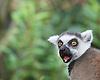 Lemurs at London Zoo 2nd April 2015