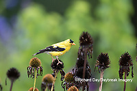 01640-16310 American Goldfinch (Spinus tristis) male eating purple coneflower (Echinacea purpurea) seeds Marion County, IL.