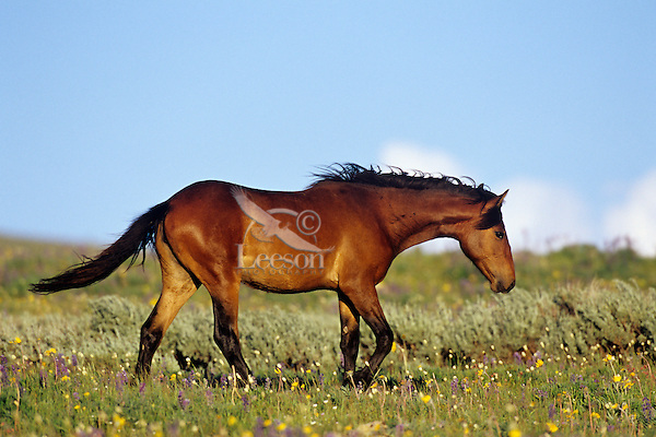 Wild Horse walking through wildflowers, Western U.S., summer..(Equus caballus)