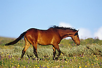 Wild Horse walking through wildflowers, Western U.S., summer..(Equus caballus)