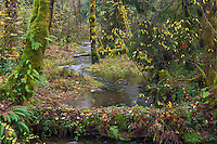 ORCAN_D234 - USA, Oregon, Cascade Range, Wildwood Recreation Site, Stream flows through autumn forest after heavy rainfall.