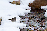01569-01704 Dark-eyed Junco (Junco hyemalis) at water in winter, Marion Co., IL
