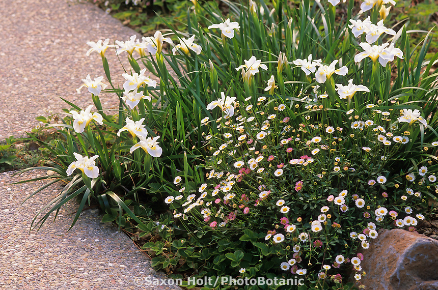 Pacific Coast iris 'Canyon Snow' and Erigeron