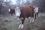 hereford cattle in Forestville, CA