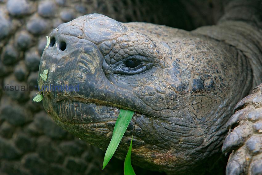 Galapagos Tortoise eating grass, Santa Cruz,  Galapagos Islands.