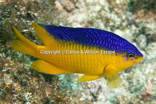 Stegastes xanthurus, Cocoa damselfish, FL Keys