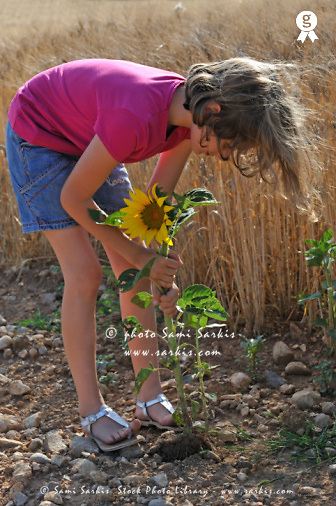 Girl uprooting sunflower from ground in field (Licence this image exclusively with Getty: http://www.gettyimages.com/detail/94433109 )