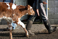 Eva, a one day old calf, follows Faith Estrella, 11, at the Estrella Family Creamery in Montesano, Wash.  on November 4, 2010.  The family owns 30-35 cows and each one has a name. The Food and Drug Administration ordered the Estrella Family Creamery in Montesano,Wash.  to stop processing cheeses after it found listeria bacteria on some of the cheeses this year.  The family says they have made many renovations on the farm and the bacteria is only found on the soft cheese, not everything.  They believe they should be allowed to resume making cheese and sell the hard cheeses they have already made at the facility.  The creamery is one of Washington's most famous artisan cheesemakers.  (photo credit Karen Ducey). .