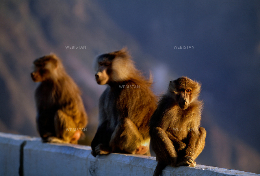2002. Baboons seated on a low wall. Babouins assis sur un muret.