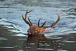Rocky Mountain Bull Elk Swimming