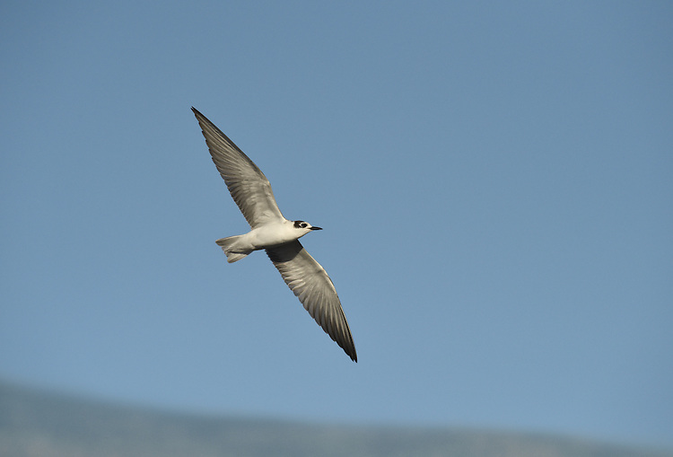 White-winged Black Tern - Chlidonias leucopterus<br /> juvenile/1st winter