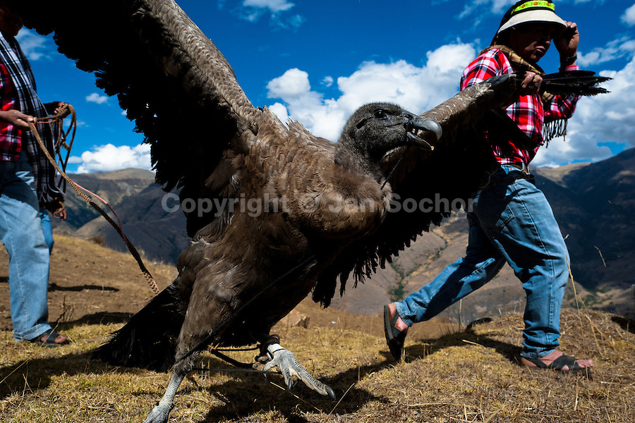 Peruvian Indians lead a captured Andean condor to celebrate the Yawar Fiesta, a ritual fight between the condor and the bull, held in the mountains of Apurímac, Cotabambas, Peru, 28 July 2012. The Yawar Fiesta (Feast of Blood), an indigenous tradition which dates back to the time of the conquest, consists basically of an extraordinary bullfight in which three protagonists take part - a wild condor, a wild bull and brave young men of the neighboring communities. The captured condor, a sacred bird venerated by the Indians, is tied in the back of the bull which is carefully selected for its strength and pugnacity. A condor symbolizes the native inhabitants of the Andes, while a bull symbolically represents the Spanish invaders. Young boys, chasing the fighting animals, wish to show their courage in front of the community. However, the Indians usually do not allow the animals to fight for a long time because death or harm of the condor is interpreted as a sign of misfortune to the community.