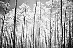 "Infrared photograph of a forest of long pine trees, aptly named ""Long Pine Key.""  Long Pine Key lies near the eastern edge of the Everglades National Park and is accessed through the Ernest F. Coe Visitor Center."