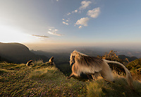 Male Gelada monkeys on the edge of the Simien Mountains escarpment.