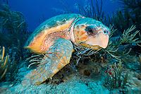 loggerhead sea turtle, Caretta caretta, Singer Island, Florida, USA, Atlantic Ocean