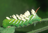Tobacco Hornworm; Manduca sexta; parasitized by brachonid wasp now in cocoons; PA, Philadelphia