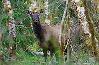 Roosevelt Elk cow (Cervus canadensis roosevelti) among red alder trees.  Olympic National Park Rainforest, WA.  Early spring.