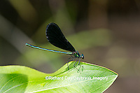 06014-001.10 Ebony Jewelwing (Calopteryx maculata) male, Lawrence Co. IL