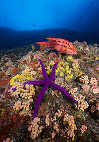 RM1066-D. Mexican Hogfish (Bodianus diplotaenia) swims overtop large sea star (Linckia sp.) along reef wall covered with barnacles, sponges and cup corals (Tubastraea coccinea). Baja, Mexico, Pacific Ocean.<br /> Photo Copyright &copy; Brandon Cole. All rights reserved worldwide.  www.brandoncole.com