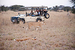 Lion Watch in Moremi Animal Reserve in Botswana in Africa