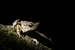 Giant River Toad (Bufo juxtasper) at night, Tawau Hills Park, Sabah, Borneo, Malaysia