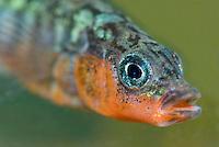 Driedoornige stekelbaars ( Gasterosteus aculeatus). .