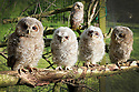 14/05/2012..Five of the nine tawny owlets - the two centre birds were rescued from inside a fallen tree...A spring of drought, gales and flooding has taken its toll on our wildlife. An animal rescue centre has taken in so many wild animals and birds  including nine young tawny owls  that it is considering closing its doors to new admissions...For full story please copy and paste this link into your browser: .http://www.fstoppress.com/articles/owls/..Caragh Hunter, 22, from HART Wildlife Rescue said: Were nearly full-up, the weird spring weather is definitely to blame. When it was hot a few weeks ago we had hedgehogs being brought to us that were dehydrated  weve got sixteen of them in now...The rain caused its own problems too  we had a badger cub come in after its sett was flooded and were swamped with ducklings rescued from fast flowing rivers...Weve never had so many owlets  more in the last few weeks than we had all last year. Two were found inside a fallen tree  theyd been nesting in its hollow trunk. The others were found after being blown from trees. Theyre all between four and eight weeks old  one was saved after a crow was attacking it on the ground....All Rights Reserved - F Stop Press.  www.fstoppress.com. Tel: +44 (0)1335 300098.Copyrighted Image. Fees charged will reflect previously agreed terms or space rates for individual publications, states or country.