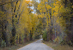 Idaho, Eastern, Swan Valley. The Snake River road through colorful cottonwood trees in autumn.