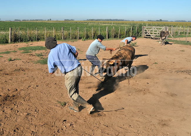 Gauchos (cowboys) in their work with cattle in a farm near Salto, Buenos aires province, Argentina. Gauchos are the typical character of the pampas (plains) and their work rising cattle, one of the main economic activities of the country.