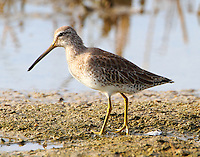 Short-billed dowitcher in winter plumage