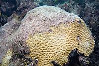 Diseased coral, Florida Keys National Marine Sanctuary, Florida