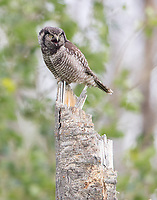 A female Northern Hawk Owl calls to her mate to beg for food.
