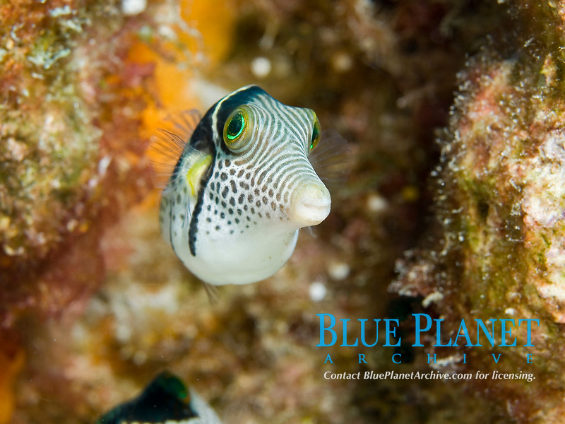 Black-saddled toby, Canthigaster valentini, South Ari Atoll, Maldives, Indian Ocean