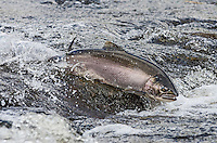 Wild Coho or Silver Salmon (Oncorhynchus kisutch) on fall spawning migration, swimming up shallow river.  Pacific Northwest.  October.  Wild fish not hatchery fish.  This fish has only been in fresh water a short time.  The longer it is in fresh water the more colorful (pinkish red) it will become.