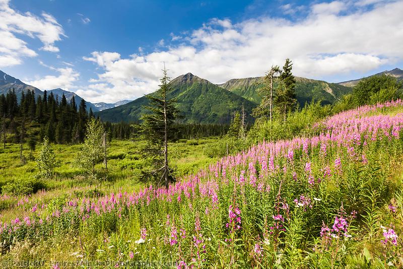 Fireweed blooms along a meadow on the Kenai Peninsula, Kenai mountains, southcentral, Alaska.