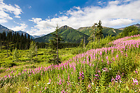 Fireweed blooms along a meadow on the Kenai Peninsula, Kenai mountains, southcentral, Alaska.