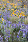 Lupine and balsamroot in Wenatchee foothills above Appleatchee Stables.