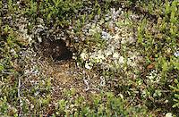 Berglemming, Berg-Lemming, Lemming, Eingang zur unterirdischen Höhle, Bau, Höhleneingang, Lemmus lemmus, Norway lemming, Norwegian lemming