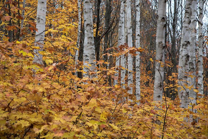 Birches with fall color, Michigan's Upper Peninsula.