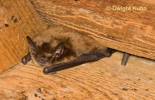 MA20-630z  Little Brown Bats, Myotis lucifugus
