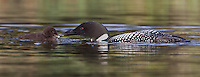 Common Loon feeding its chick