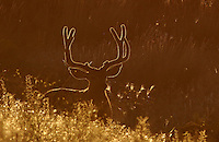 Deer - Mule - Backlit