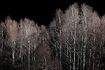Silver Birch trees lit up by sunlight on the second last day of December, near Mantet, in the French Pyrenees-Orientales.